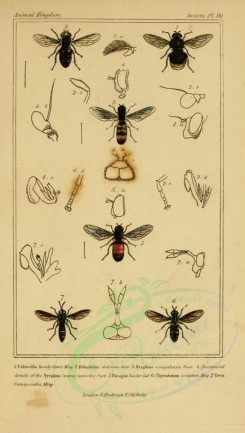 insects-17903 - 084-volucella, helophilus, syrphus, paragus, chrysotoxum, ceria [1816x3206]