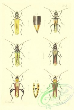 insects-18771 - oedemera
