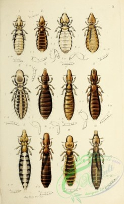 insects-18945 - 010-nirmus, lipeurus