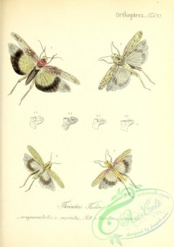 insects-19210 - 011-thrinchus