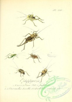 insects-19224 - 025-ephippiger