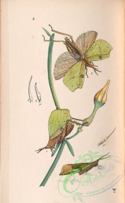 insects-19450 - 004-Orthoptera, Systella