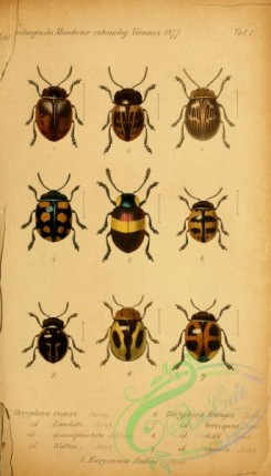 insects-20354 - 001-doryphora, euryceraea