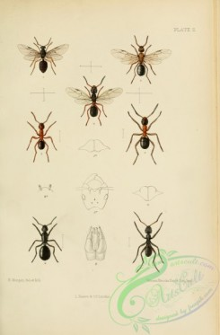 insects-20580 - 002-Hymenoptera, formica