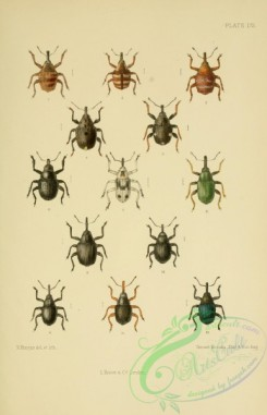 insects-20919 - 172-coeliodes, poophagus, ceuthorrhynchus