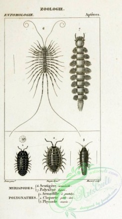 insects_bw-01723 - 048-scutigere, polyxene, armadille, cloporte, physode