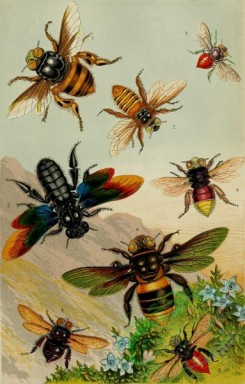 insects_life_scenes-00003 - Beautiful Exotic Bees, centris, oxaea, euglossa, xylocopa