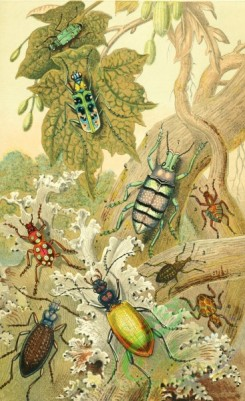 insects_life_scenes-00007 - cicindela, otiorynchus, pachyrynchus, carabus, eupholus