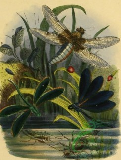 insects_life_scenes-00013 - Common Flat-bodied Dragon-fly, libellula, Purple-winged Dragon-fly, calopteryx, Six-spot Lady-bird, coccinella, Two-spot Lady-bird