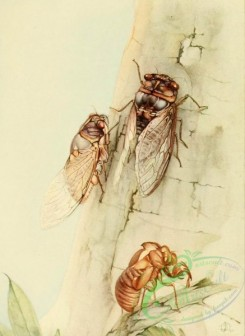 insects_life_scenes-00079 - Cicada