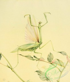 insects_life_scenes-00084 - Praying Mantis