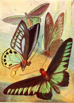 insects_life_scenes-00091 - Bird-wing Butterflies
