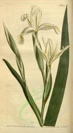 iris-00053 - 1515-iris spuria stenogyna, Cream-coloured Bastard-Iris [1851x3341]