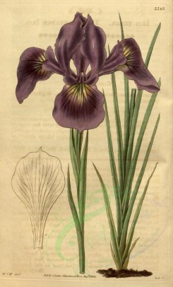 iris-00063 - 3343-iris tenax, Tough-threaded Iris [1908x3159]