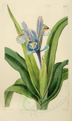 iris-00146 - 1876-iris alata, Small-winged Iris [2104x3529]