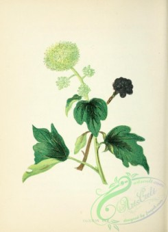 ivy-00012 - Common Ivy, hedera helix