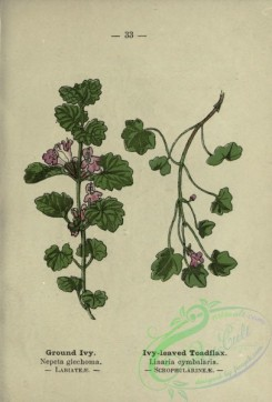 ivy-00029 - Ground Ivy, Ivy-leaved Toadflax - nepeta glechoma, linaria cymbalaria