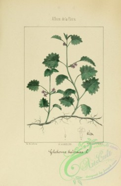 ivy-00045 - glechoma hederacea
