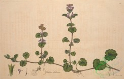 ivy-00048 - glechoma hederacea