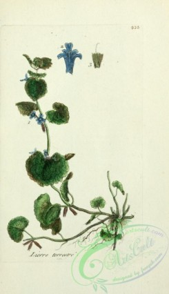 ivy-00050 - glechoma hederacea