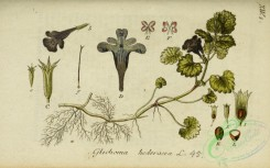 ivy-00051 - glechoma hederacea