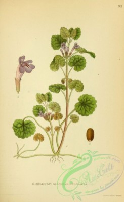 ivy-00056 - glechoma hederacea