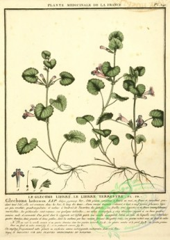 ivy-00073 - glechoma hederacea