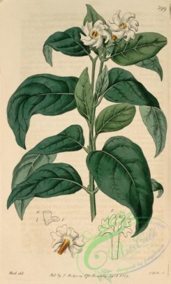 jasmine-00027 - 399-nyctanthes arbor tristis, Square-stalked Nyctanthes or Night-Jasmine [2819x4679]