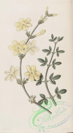 jasmine-00046 - 048-jasminum nudiflorum, Naked-flowered Jasmine [2788x5063]