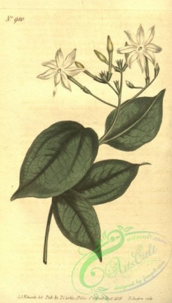 jasmine-00057 - 980-jasminum simplicifolium, Simple-leaved Jasmine [1818x3195]