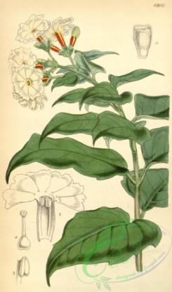 jasmine-00064 - 4900-nyctanthes arbor-tristis, Arbor-tristis or Night Jasmine [2034x3450]