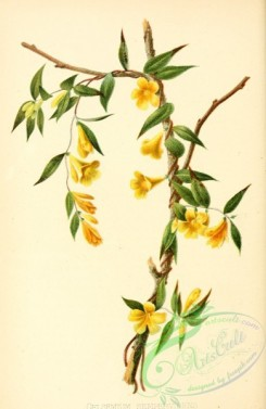 jasmine-00094 - Carolina Jasmine or Yellow Jasmine, gelsemium sempervirens [2320x3566]