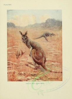 kangaroos-00001 - Great Red Kangaroo [2386x3291]