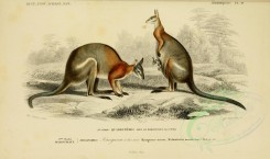 kangaroos-00006 - Black-striped Wallaby [3662x2164]