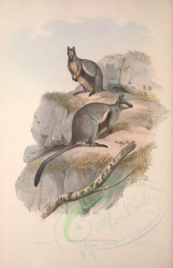 kangaroos-00032 - Striped-sided Rock Wallaby [3601x5560]