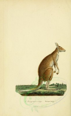 kangaroos-00048 - Great red kangaro [2316x3751]