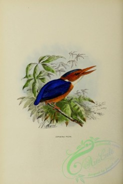 kingfishers-00025 - African Pygmy-Kingfisher