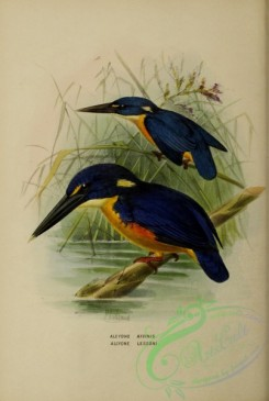 kingfishers-00031 - alcyone affinis, alcyone lessoni