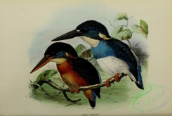 kingfishers-00038 - Blue-banded Kingfisher