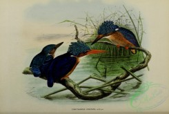 kingfishers-00068 - corythornis cristata