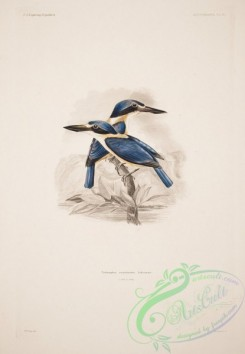 kingfishers-00139 - Flat-billed Kingfisher