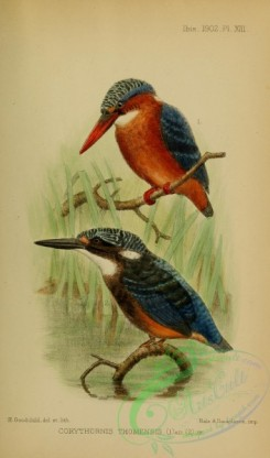 kingfishers-00146 - corythornis thomensis