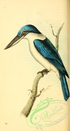 kingfishers-00166 - halcyon collaris
