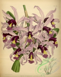 laelia-00011 - laelia superbiens quesneliana