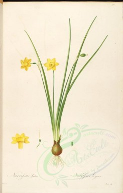 lilies_flowers-00517 - narcissus laetus [4207x6634]