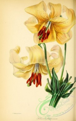 lilies_flowers-00686 - Pale-red-flowered Lily, lilium testaceum [2844x4512]