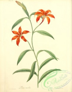 lilies_flowers-00715 - Self-coloured Chinese Lily, lilium concolor [2550x3279]