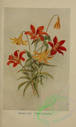 lilies_flowers-00745 - Meadow-Lily, lilium canadense [1844x3075]
