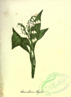lilies_flowers-00828 - Lily Of The Valley [2780x3786]