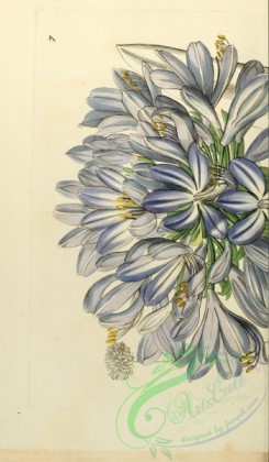 lilies_flowers-00894 - 007-agapanthus umbellatus maximus, Large-flowered African Blue-Lily [2129x3642]